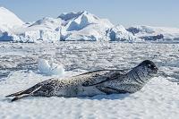 南極大陸 ヒョウアザラシ