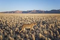 ナミブ砂漠 カナナン砂漠静養地 チーター