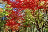 静岡県 竹林の小径 紅葉の修善寺温泉