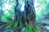 高知県 天然杉