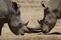 ケニア ソリオ野生動物保護区 シロサイのケンカ