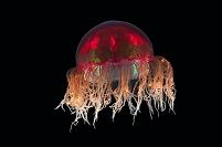深海生物 ヒドロクラゲ