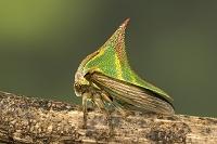 コスタリカ ツノゼミ科の一種
