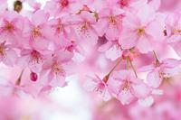 神奈川県 西平畑公園 河津桜