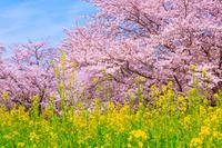 東京都 昭和記念公園 桜と菜の花畑