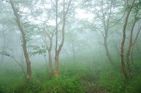 霧にかすむダケカンバ林