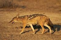 ナミビア エトーシャ国立公園 ジャッカル