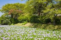 奈良県 ホテイアオイ咲く本薬師寺跡