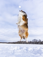 ジャンプするシェットランドシープドッグ