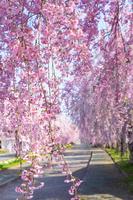 福島県 日中線記念自転車歩行者道のシダレ桜