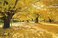愛知県 祖父江の銀杏並樹と落ち葉