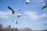 ユリカモメ 飛ぶ