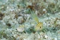 久米島 闘争するヒメテグリ