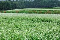 三重県 小雨のそば畑とヒガンバナ