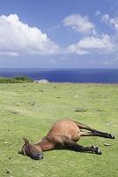 沖縄県 与那国町 与那国島 与那国馬