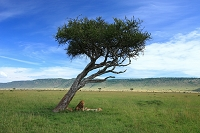 ケニア アカシアの木とライオン