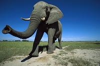 ボツワナ 雄のアフリカゾウ
