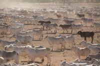 オーストラリア 肉牛の飼育