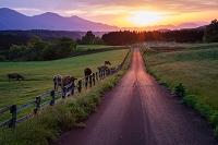 岡山県 朝焼けの道とジャージー牛