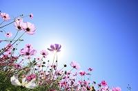 兵庫県 コスモスの花畑