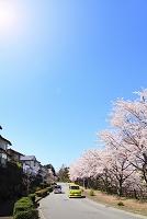 静岡県 桜並木と住宅街