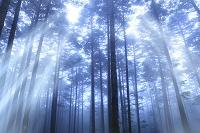 霧の針葉樹の森と光