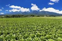 長野県 ハクサイ畑と八ヶ岳