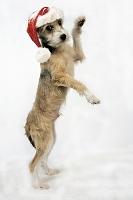 立ち上がるクリスマス帽を被った犬