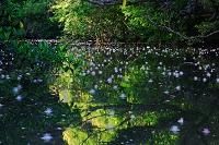 沖縄県 西表島 川面のサガリバナ