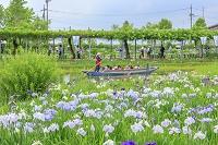 千葉県 水郷佐原水生植物園 ハナショウブとさっぱ舟