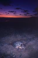 オーストラリア モン・レポ アカウミガメの産卵