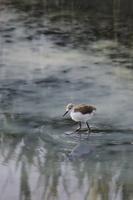 セイタカシギ幼鳥