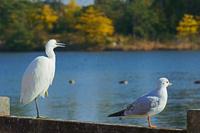 三重県 コサギ左とユリカモメ右の鳥