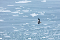 オオワシと蓮葉氷の海