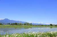 長野県 残雪の北アルプスと水田とマーガレット