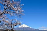 静岡県 大石寺の桜と富士山