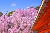 京都府 サクラの咲く平安神宮
