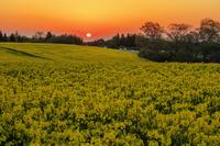栃木県 大谷の菜の花畑朝景