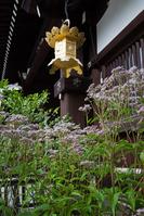 京都市 下鴨神社のフジバカマ