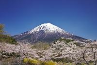 静岡県 富士桜自然墓地公園の桜と富士山