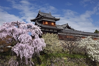 奈良県 桜と郡山城