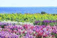 千葉県 白間津の花畑