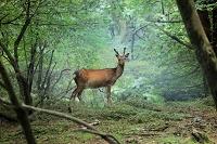 宮崎県えびの市えびの高原の鹿