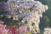 奈良県 春の又兵衛桜