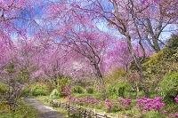 京都府 原谷苑 しだれ桜