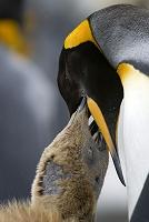 オウサマペンギンの親子