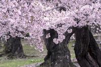 満開の桜 春