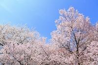 長野県 弘法山古墳 桜