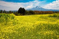 鳥取県 菜の花 大山