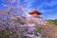 京都府 サクラの咲く清水寺